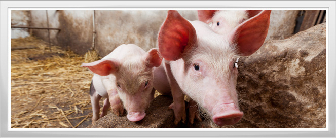 Pig Farm Agriculture Training Program